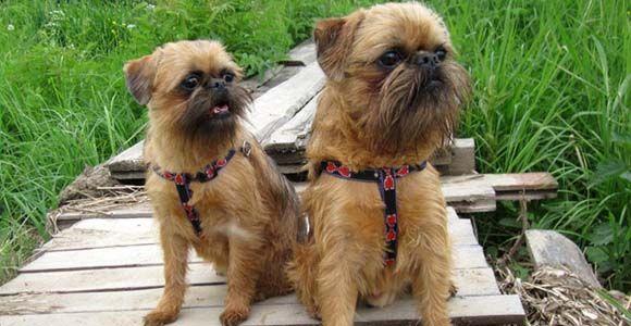 Порода этих собак - брюссельский гриффон