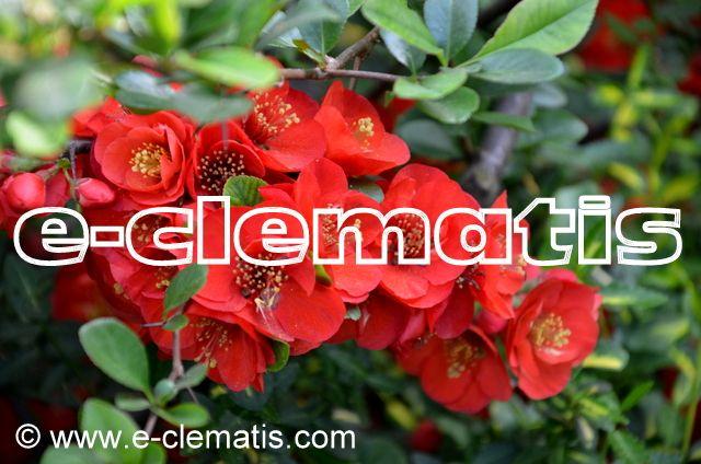 Chaenomeles ×superba 'Crimson and Gold' - pigwowiec wspaniały