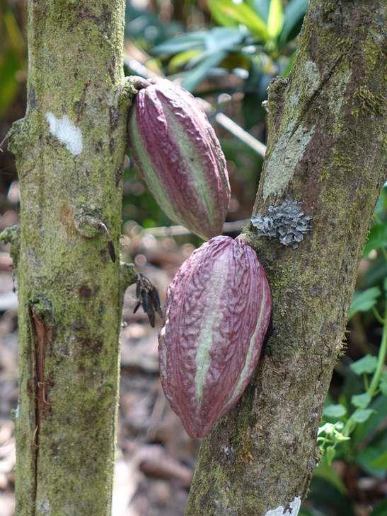 Photo Costa Rica Mawamba Park Cabosse de Cacao  - Tortuguero, c'est à la fois un village afro-caribéen qui s'étire sur 6,5 km de péninsule sableuse entre le lagon et la mer et un superbe parc national. Tortuguero signifie mot à mot «là où pondent les tortues», tout simplement car le parc national de Tortuguero a été, de tout  temps, une terre où les tortues venaient pondre.  Mais Tortuguero, ce n'est pas que les tortues... Une biodiversité unique en son genre se concentre dans ce parc ...