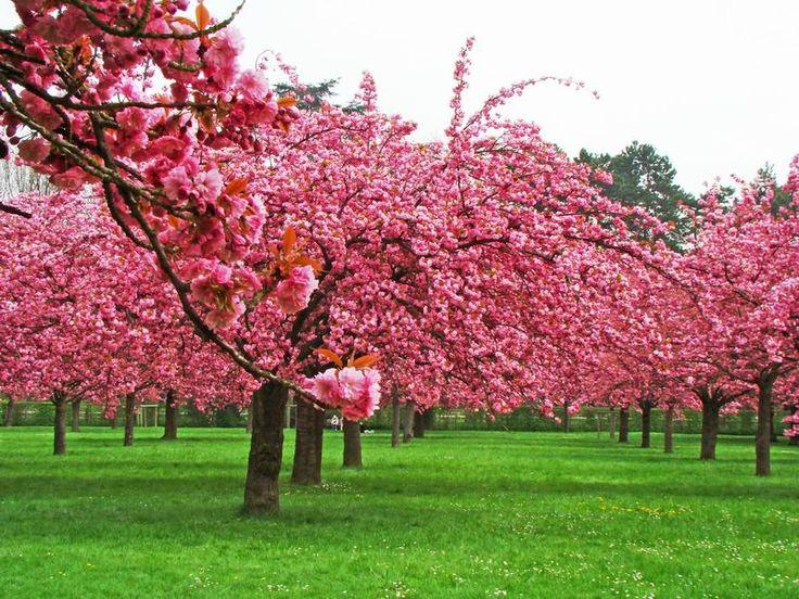 hanami parc des sceaux paris japón flor de cerezo cherry blossom japan flowers rosa pink miraquechulo