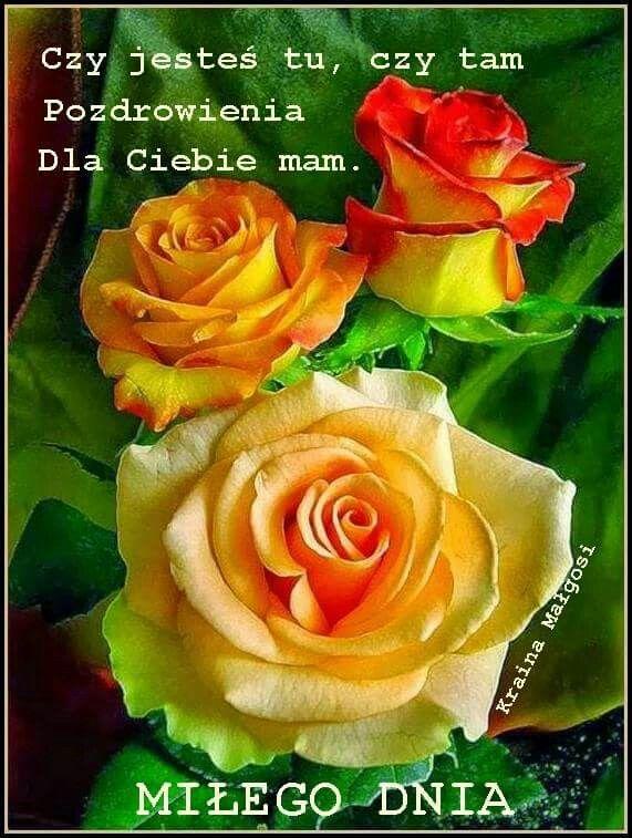 Pin By Miroslawa Starzynska On Dzien Dobry Hybrid Tea Roses Rose Flower Beautiful Rose Flowers