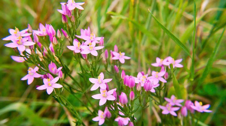 Zeměžluč – jak sbírat a užívat + 5  domácích receptů pro zdraví i krásu