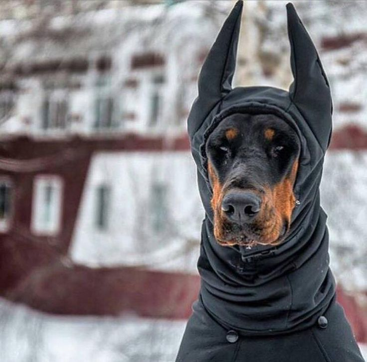 Lol I have never seen a Doberman wearing a hoody too funny.
