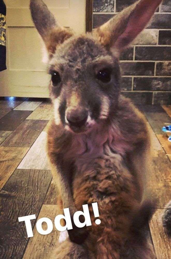 Todd the Kangaroo - Caroline Bryan/Instagram