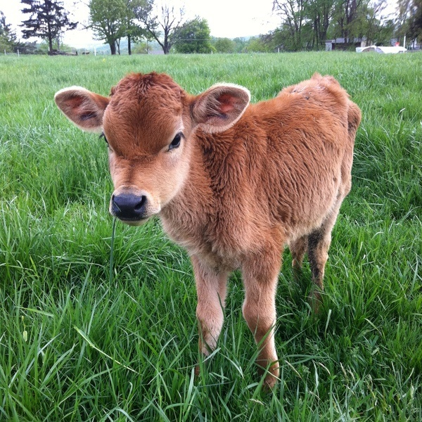 Seriously y'all, I want a calf that will always stay a calf.