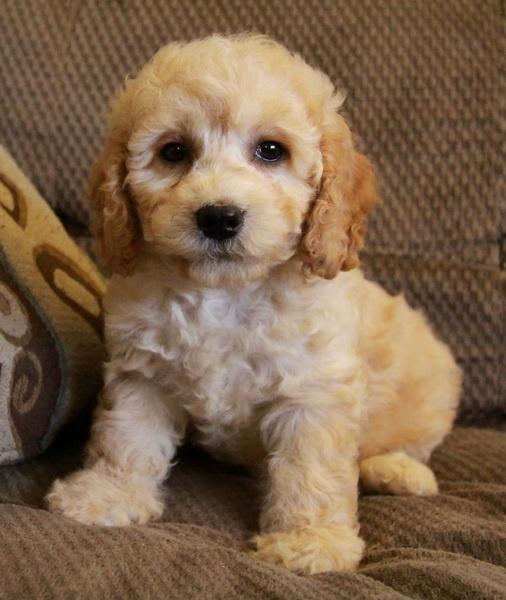 Cockapoo puppies! Soooooooooo cute! | Tooo Stinkin Cute ...