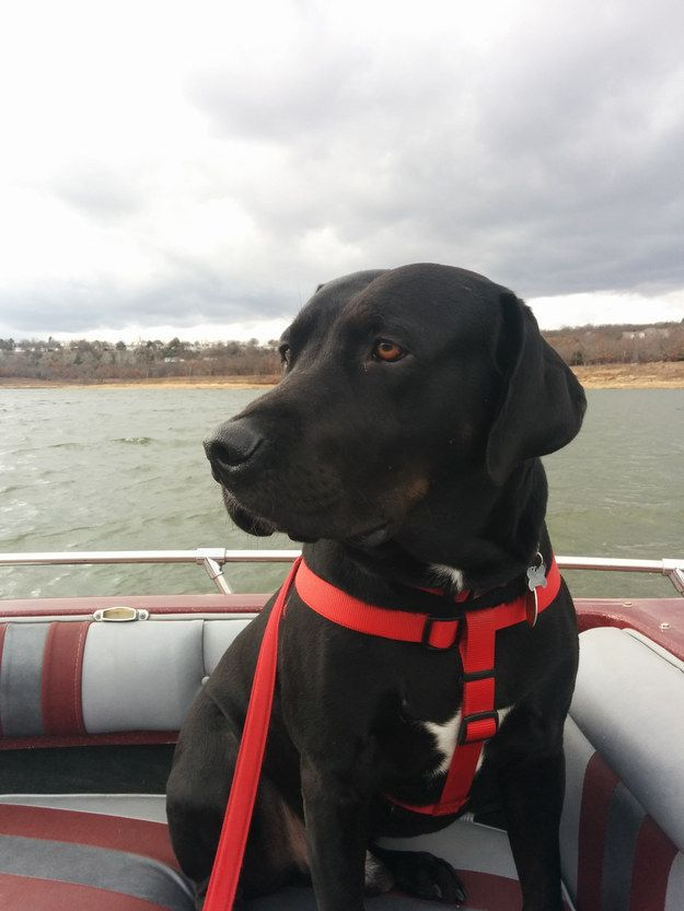Nelson, the black lab/pit bull mix who loves ~cruising~ with his new forever family. | 17 Rescue Dogs Who Are Loving Their Second Chance At Life