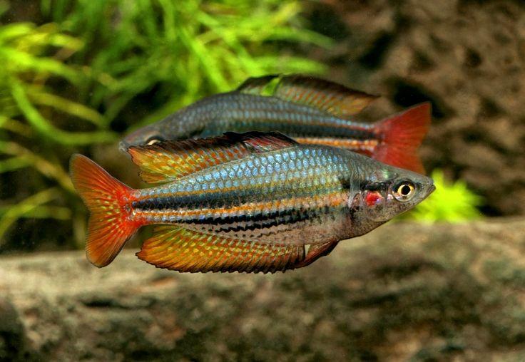 152 best rainbow fish aquarium images on pinterest for Freshwater rainbow fish