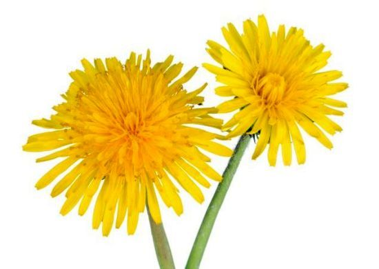 Basically, Dandelion is the cure-all for everything!  Health Benefits of Dandelion | Organic Facts