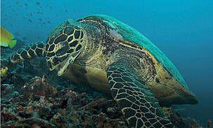 Sebagai spesies yang daur hidupnya secara alamiah sudah rentan, kelangsungan populasi Penyu Laut makin terancam dengan meningkatnya aktivitas manusia.