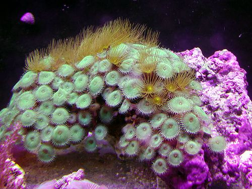 Polyp Coral Reefs Madness Green Marine Life Photos Pictures Photographs
