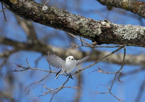 雪の妖精ことシマエナガが可愛すぎてキュンとする!シマエナガってこんな鳥! | ギャザリー