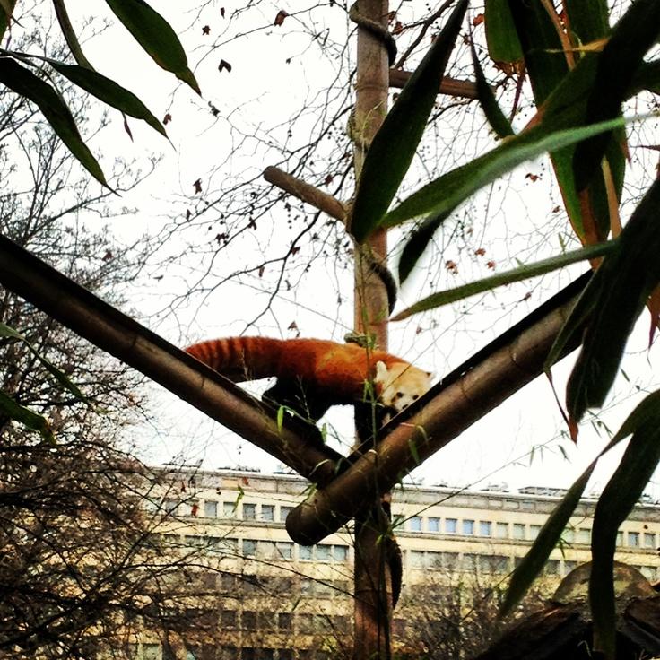 #redpanda jardin des plantes #paris
