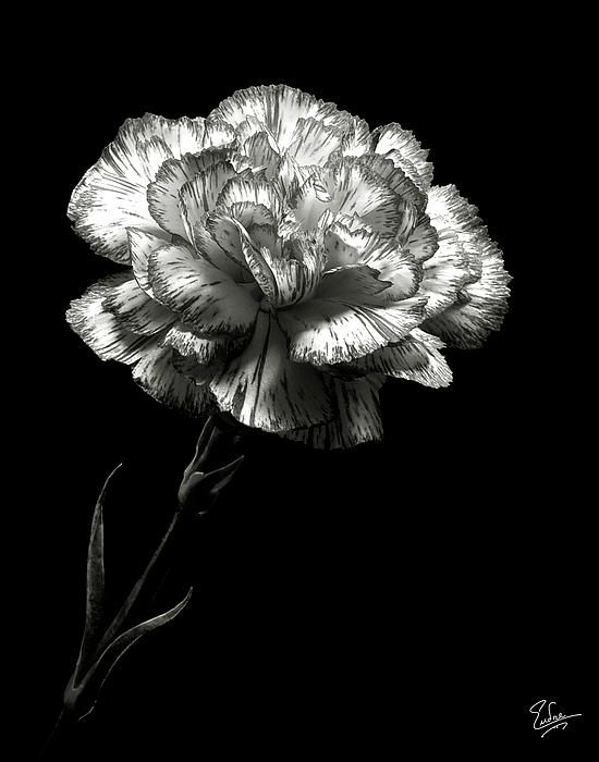 Carnation in black and white