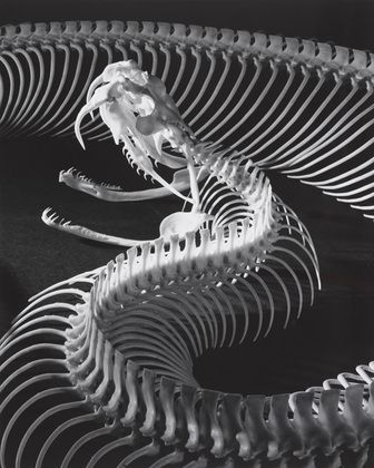 The Skeleton of a Gaboon Viper  Andreas Feininger     1952.