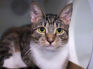 ***TO BE DESTROYED 10/26/17*** RADHA ALLOWS GENTLE PETTING AND A SOFT APPROACH AND NEEDS RESCUE TONIGHT! Radha is a shy girl whose owner brought in because he has too many pets. She needs someone who will give her some time to come out of her shell on her terms. WHY NOT GIVE RADHA THE HAPPILY EVER AFTER SHE DESERVES? RESERVE BY NOON!