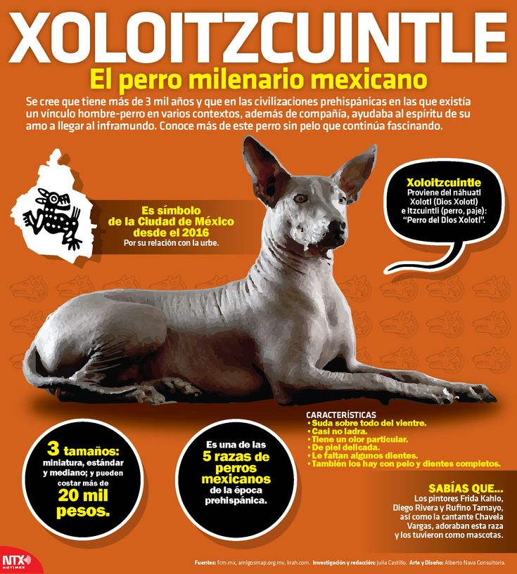 #SabíasQue el xoloitzcuintle es símbolo de la Ciudad de México desde hace un año. #InfografíaNTX