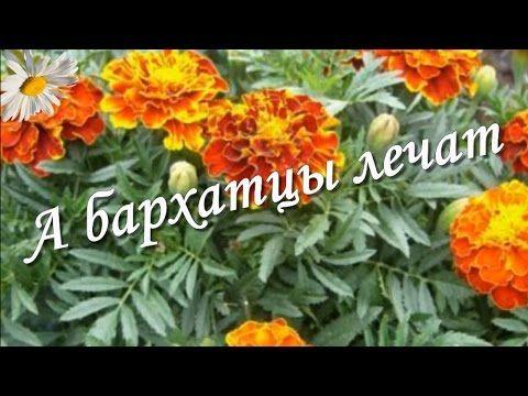 Бархатцы - цветы, которые лечат: псориаз, панкреатит, нейродермит - YouTube