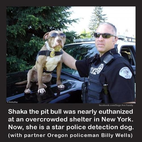 Star Police Detection Dog. I wish i had the space and money to save every shelter and abused animal, especially pit bulls since people constantly abuse them!