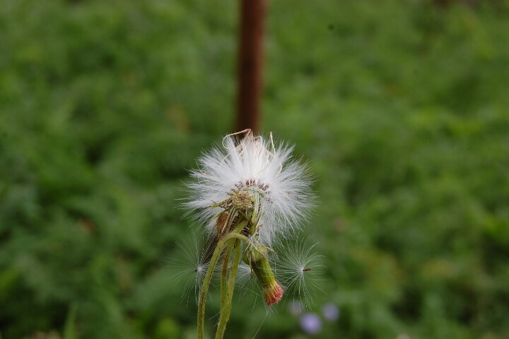 wonderful dandelion