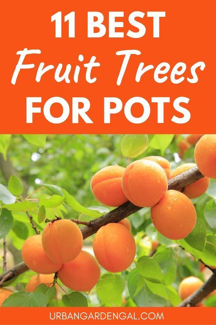 11 Besten Obstbaume Um In Behaltern Zu Wachsen Growing Fruit Trees Dwarf Fruit Trees Growing Fruit
