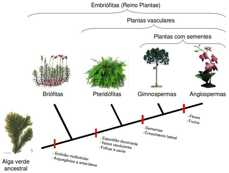 REINO PLANTAE     Ordem evolutiva dos vegetais terrestres      Acredita-se que os grupos vegetais terrestres hoje conhecidos tenham tido s...