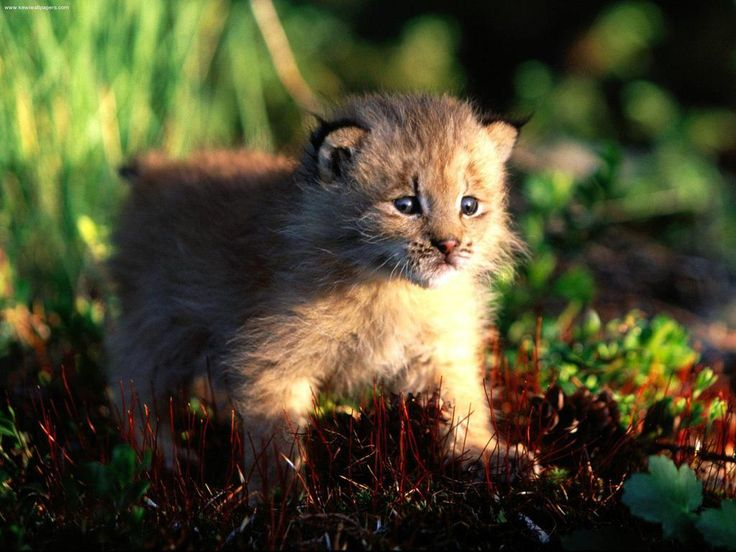 Bobcats!! | Best Baby bobcat and Animal ideas