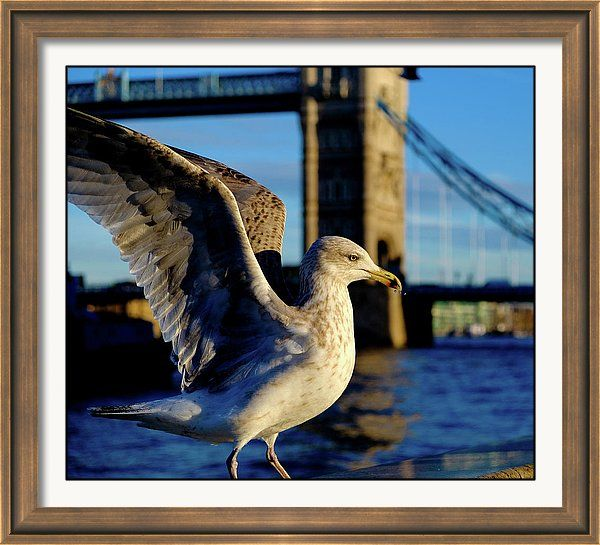 Framed Print featuring the photograph Gull At Tower Bridge by Judi Saunders. Many colors and styles of frame available.