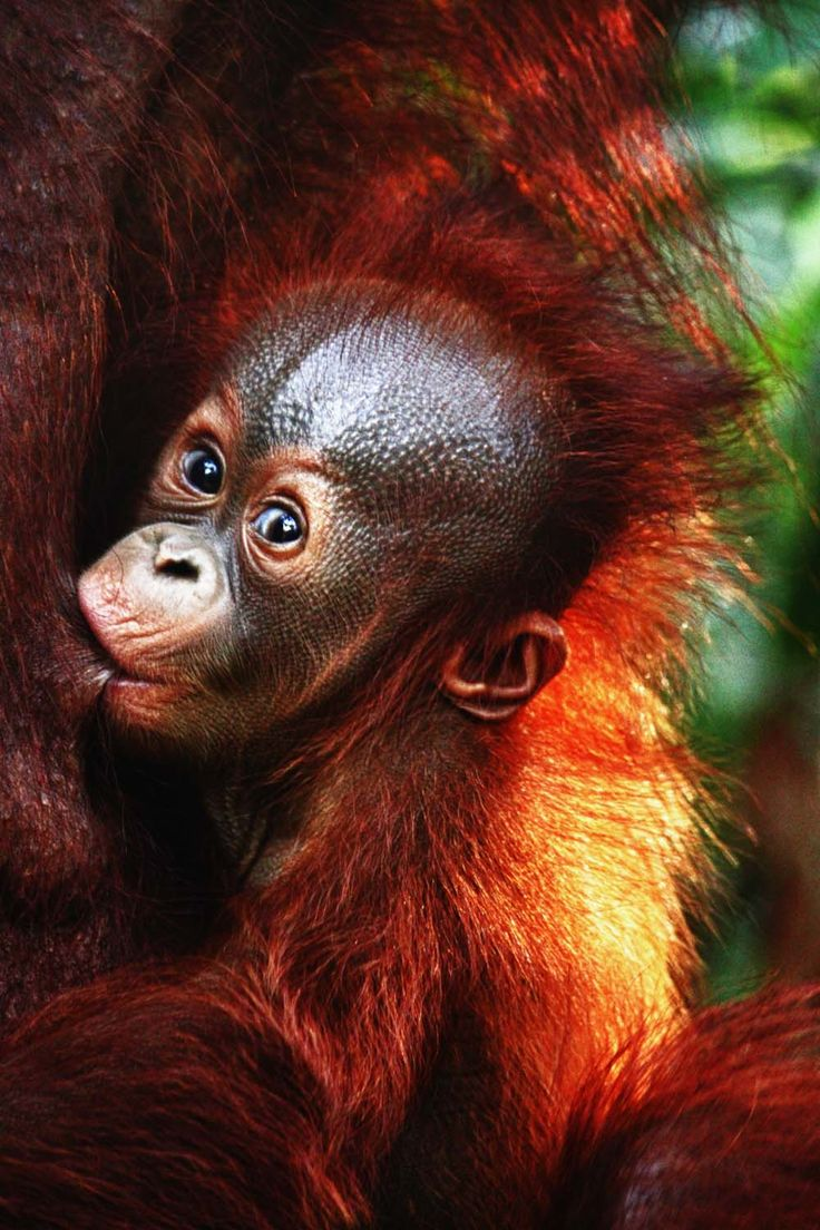 GuideTrip: 3 Day Orangutan Experience With Guided Tour & River Cruise