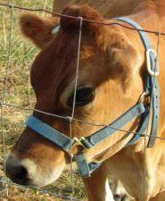 Mini Jersey Cows, A2/A2 Miniature Jersey Cattle, Nubian Milk Goats, Located in Missouri & Arizona