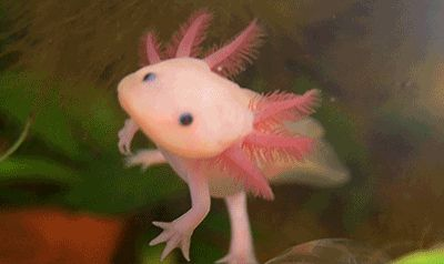 The axolotl, also known as a Mexican salamander or a Mexican walking fish...