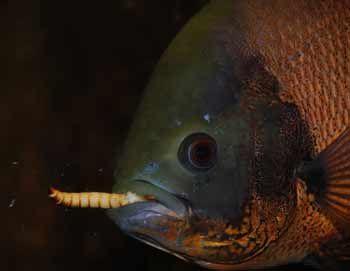 feeding oscar fish