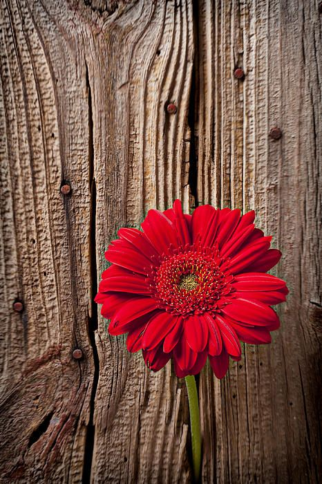 Red Gerbera Daisy @Kathie DeNosky - the red and wood seems kind of western  :)