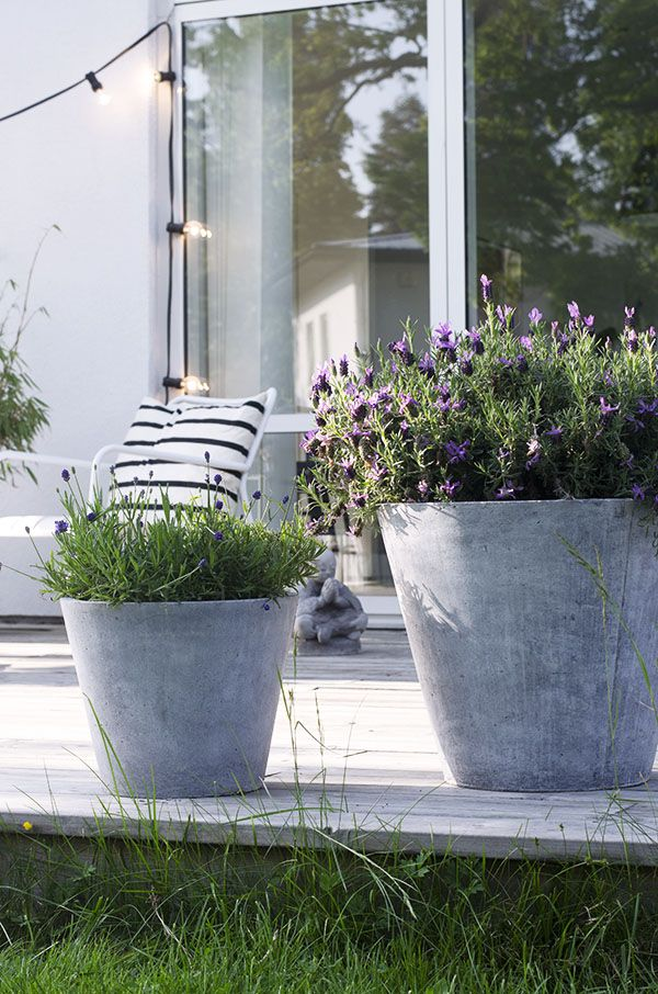 Lavender in concrete planters. This would be pretty outside our house