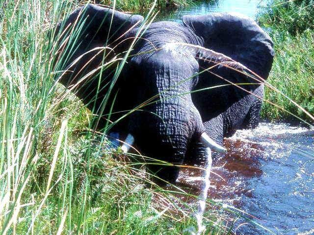 Elephant-grand-mammifère-elephant de la savane-herbivore-le cri de l'éléphant est le barissement-elephant