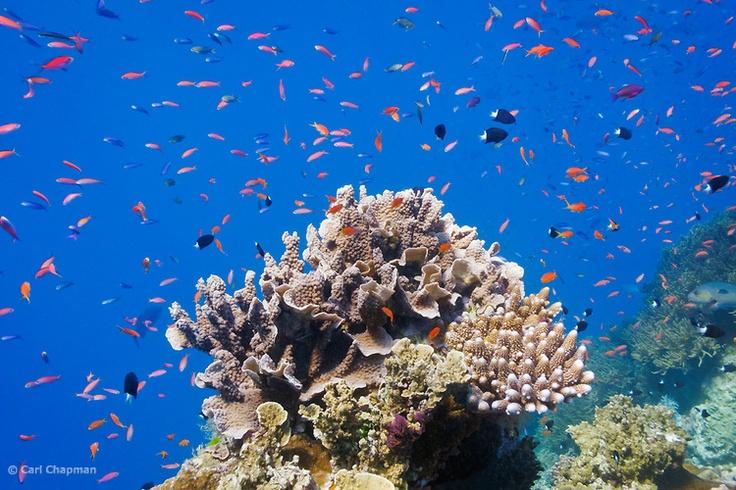 Various Anthias fish (pseudanthias) and Bicolor chormis (chromis margaritifer) schooling around coral on Agincourt Reef, Great Barrier Reef.