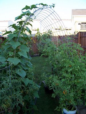 Using a cattle/hog fence, make an archway to use for zucchini and cucumbers in raised beds.