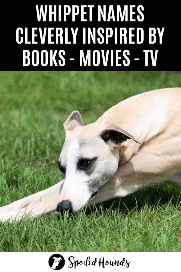 Brilliant Book Movie And Tv Inspired Whippet Names With Pictures Dog Names Whippet Puppies Whippet Dog