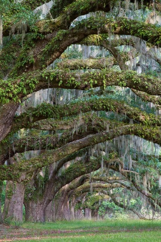 trees trees trees trees trees treesFavorite Places, Charleston Sc, Nature, Beautiful, Trees Trees, Living Oak, Oak Trees, Charleston South Carolina, Spanish Moss