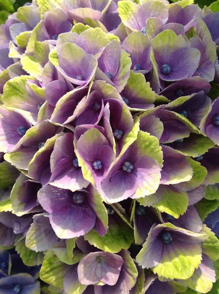 Hydrangea Everlasting® Amethyst – Plants Nouveau Planting hydrangeas near a concrete foundation or sidewalk will often affect the color since the pH of the soil may be raised considerably by lime leaching out of these structures, making it difficult to obtain blue.
