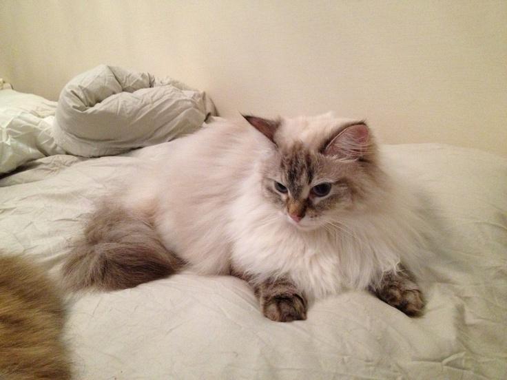 Siberian cat! She's My Love!