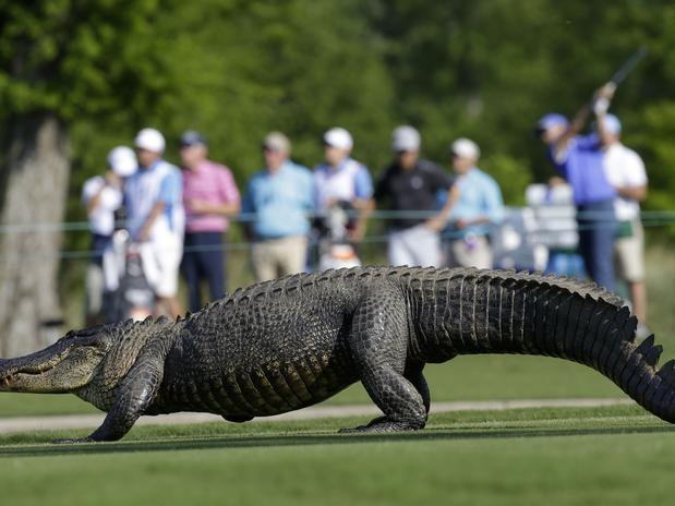 Jacarés invadem campo e interrompem torneio de golfe nos EUA - Terra Brasil Jacaré invade campo de golfe durante a primeira rodada do PGA Tour Zurich Classic, disputada nesta quinta-feira no TPC Louisiana, em Avondale, nos Estados Unidos. O animal cruzou o buraco de número 14 e chegou a interromper o jogo por alguns minutos
