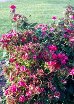 rose rosette disease neil sperryus notes