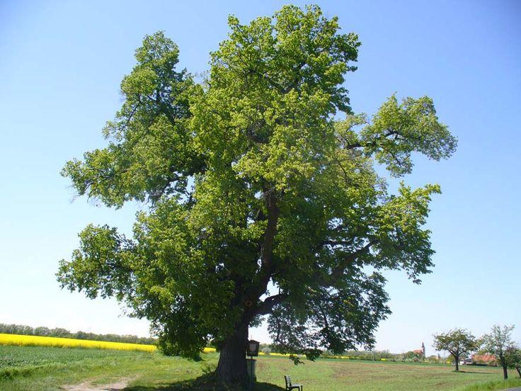 Lípa Srdčitá (Tilia cordata) Čeleď: Slézotvaré (Malvales)