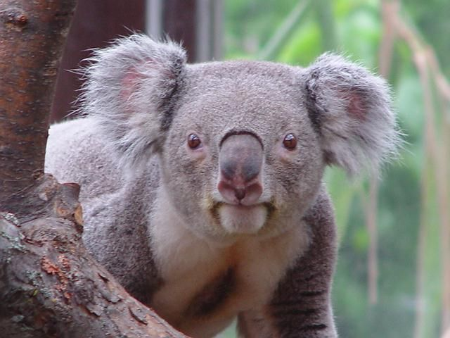 Yea its me the great big koala....