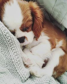 Sleeping Cavalier King Charles Spaniel puppy