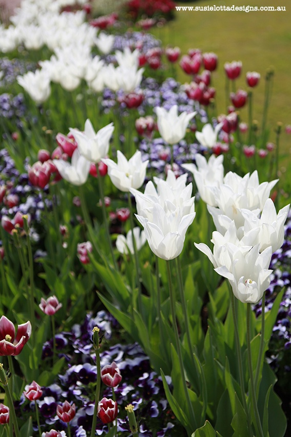 Pink and white tulips in the spring, with purple too!