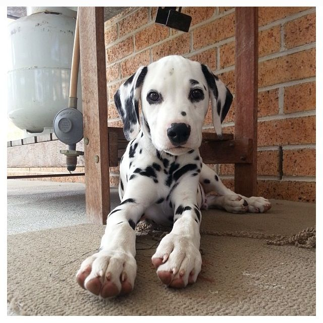 Dalmatian Puppies For Sale Saskatchewan Canada