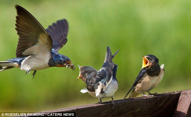 Mother feeding baby swallows
