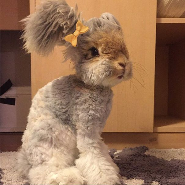 Wally is an English Angora rabbit who lives in Massachusetts, USA, and has ears that look like angel wings.